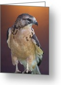 Morph Photo Greeting Cards - Light morph immature Swainsons Hawk Greeting Card by Ernie Echols