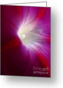 Morning Glory Greeting Cards - Light the Way Morning Glory Greeting Card by Jennie Marie Schell