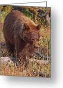 American Brown Bear Greeting Cards - Lil Red Greeting Card by Katie LaSalle-Lowery