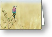 Full-length Greeting Cards - Lilac-breasted Roller (coracias Caudata) Greeting Card by Elliott Neep