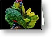 Amazon Parrot Greeting Cards - Lilacine Amazon Parrot Isolated On Black Backgro Greeting Card by Photo by Steve Wilson