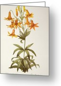 Cutting Greeting Cards - Lilium Penduliflorum Greeting Card by Pierre Joseph Redoute