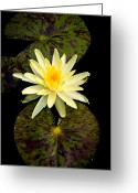 Water Lilly Greeting Cards - Lilly of the Pond Greeting Card by Steve McKinzie