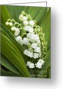 Plants Greeting Cards Greeting Cards - Lilly of the Valley  Greeting Card by Maria L Salata