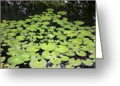 Lilly Pad Greeting Cards - Lilly Pads Greeting Card by Christian Griffin