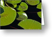 Lilly Pad Greeting Cards - Lilly Pads Greeting Card by Daryl Hogbin