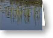 Reeds Reflections Greeting Cards - Lilly Pads Float On A River Greeting Card by Stacy Gold
