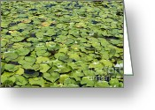 Lilly Pad Greeting Cards - Lilly Pond Greeting Card by John Greim