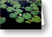 Lilly Pad Greeting Cards - Lily Alone Greeting Card by May Photography
