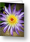 Water Lilly Greeting Cards - Lily at Rest Greeting Card by Steve McKinzie