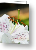 Fragrant Flowers Greeting Cards - Lily Close Up Greeting Card by Robert Bales
