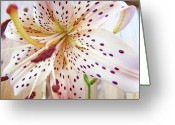 Lilies Flowers Greeting Cards - LILY FLOWER White Lilies Art Prints Baslee Troutman Greeting Card by Baslee Troutman Fine Art Prints Collections