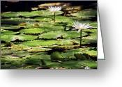 Lilly Pad Greeting Cards - Lily Pads and Lotus Flowers with Dragonfly Greeting Card by Jason Politte