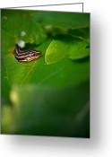 Peeping Greeting Cards - Lined Skink Peeping Greeting Card by Douglas Barnett