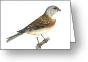 Northern Africa Greeting Cards - Linnet, Artwork Greeting Card by Lizzie Harper