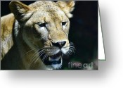 Hunter Greeting Cards - Lion - Endangered Species - Wildlife Greeting Card by Paul Ward