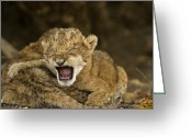 Number Greeting Cards - Lion Cubs Crying After Their Mother Greeting Card by Michael Nichols