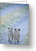 Grass Greeting Cards - Lion Cubs Walking Together In Masai Mara Greeting Card by Mehmed Zelkovic