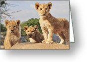 Johannesburg Greeting Cards - Lion Cubs Greeting Card by Walter Stein