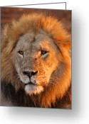 Africa Photo Greeting Cards - Lion King Greeting Card by Adam Romanowicz