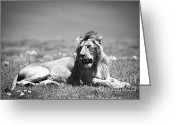 African Cats Greeting Cards - Lion King in Black and White Greeting Card by Sebastian Musial