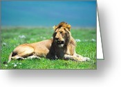 Game Animals Photo Greeting Cards - Lion King Greeting Card by Sebastian Musial