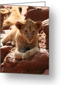 Playful Kitten Greeting Cards - Lion on a Rock Greeting Card by Benjamin Mitchell