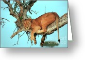 Tree. Acacia Greeting Cards - Lioness in Africa Greeting Card by Sebastian Musial