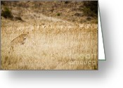 On-the-look-out Greeting Cards - Lioness looking for a meal Greeting Card by Darcy Michaelchuk