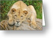 Charismatic Greeting Cards - Lioness Portrait Greeting Card by Dean Pennala