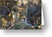 On-the-look-out Greeting Cards - Lioness with Pride in Shade Greeting Card by Darcy Michaelchuk