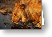 Big Cat Greeting Cards - Lions Pride Greeting Card by Andrew Paranavitana