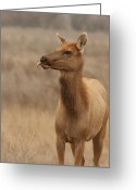 Merced County Greeting Cards - Lip Licking Tule Elk Merced County CA Greeting Card by Troy Montemayor
