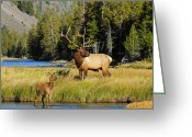 Elk Greeting Cards - Little Big Man Greeting Card by Sandy Sisti