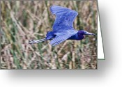 Waterbird Greeting Cards - Little Blue Heron In Flight Greeting Card by Roger Wedegis