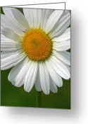 White Daisies Greeting Cards - Little Darling Greeting Card by Juergen Roth