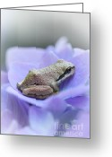 Brown Frog Greeting Cards - Little Frog on Hydrangea Flower Greeting Card by Jennie Marie Schell