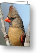 Red Bird Greeting Cards - Little Lady Cardinal Greeting Card by Bonnie Barry