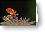 Taking Off Greeting Cards - Little Ladybug Greeting Card by Annemarie van den Berg