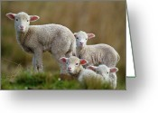 Four Animals Greeting Cards - Little Lambs Greeting Card by Ronai Rocha