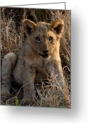 Lion Cub Poster Greeting Cards - Little One Greeting Card by Sarah  Lalonde