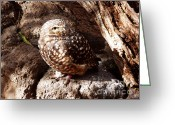 Burrowing Owl Greeting Cards - Little Owl 1 Greeting Card by Methune Hively