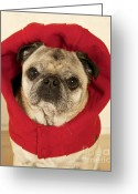 Funny Pet Picture Greeting Cards - Little Red Riding Pug Greeting Card by Cindy Lee Longhini