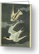Clouds Drawings Greeting Cards - Little Tern Greeting Card by John James Audubon