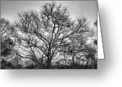 Live Oak Trees Greeting Cards - Live Oak Grove Greeting Card by Steven Ainsworth