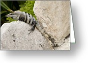Gray-scale Greeting Cards - Lizard Greeting Card by Blink Images