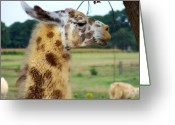 Safari Park Greeting Cards - Llama Greeting Card by Jai Johnson