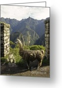 On-the-look-out Greeting Cards - Llama on the Inca Trail Greeting Card by Darcy Michaelchuk