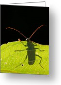 Green Monster Greeting Cards - Locust Borer Greeting Card by Mircea Costina Photography