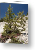 Crevice Greeting Cards - Lodgepole Pine (pinus Contorta) Greeting Card by Bob Gibbons